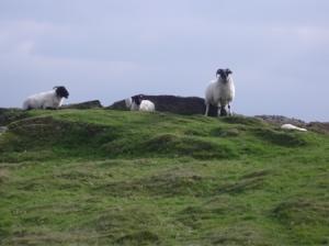 Sheep in Dartmoor